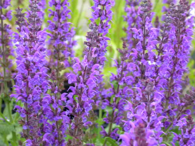 Сальвия пышная (Salvia x superba)