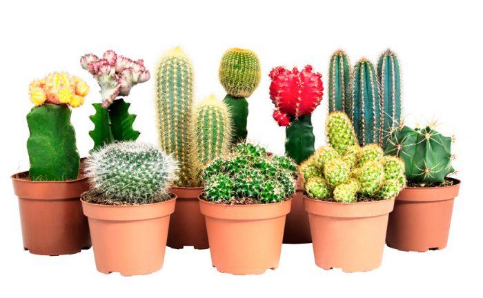 Как ухаживать за кактусами в домашних условиях: полив, размножение и пересадка