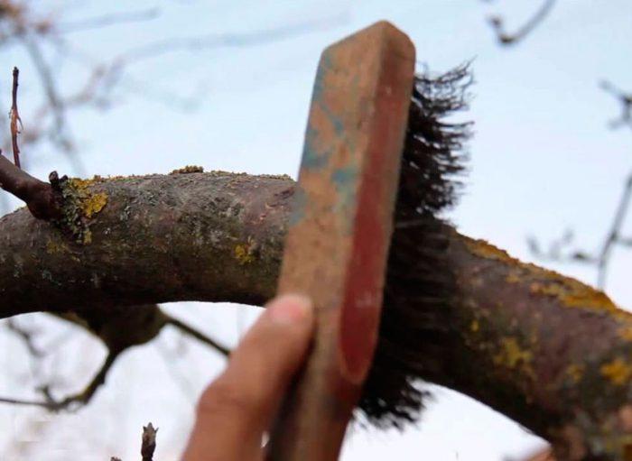 Как белить старые деревья