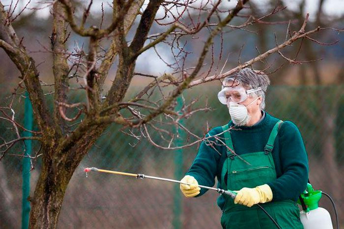 Как правильно ухаживать за сливой весной? Методы борьбы с вредителями