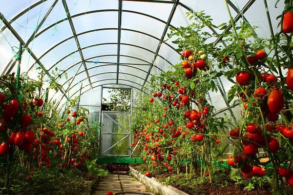 Теплицы для помидоров