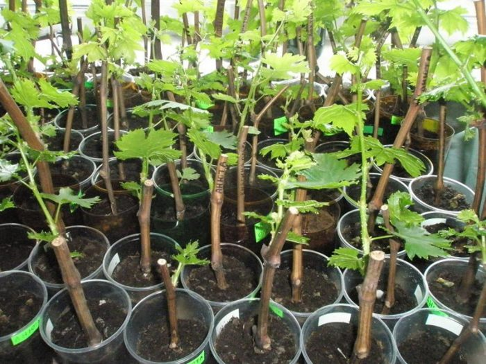 Выращивание черенков винограда