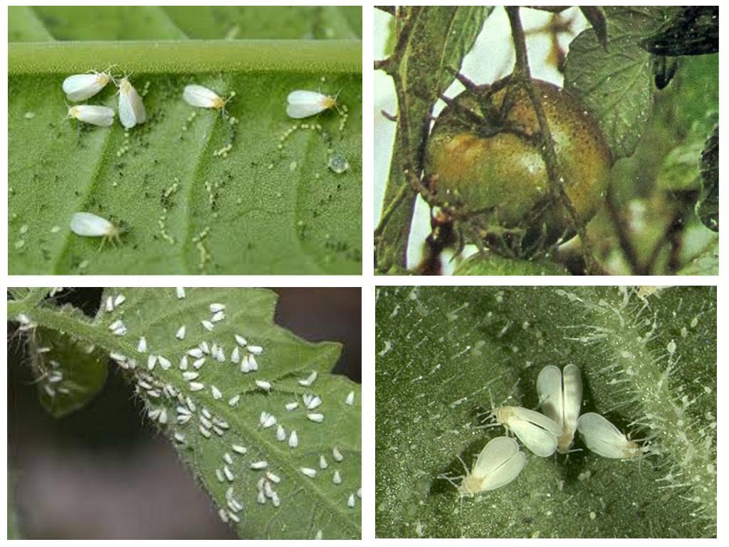 Белокрылка на рассаде томатов, Вырасти сад