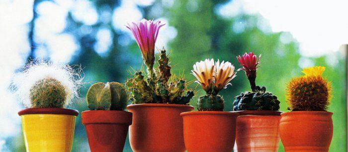 Особенности кактусов