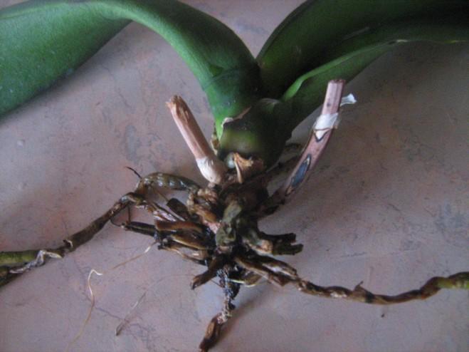 Проблемы с корнями орхидеи