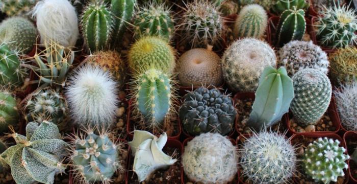 фото кактусов разновидности