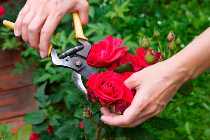 Розы после цветения