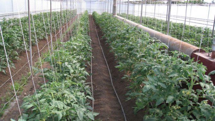 В какое время пересаживать помидоры в теплицу