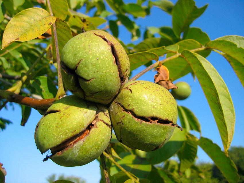 Выращивание грецкого ореха правила посадки и ухода