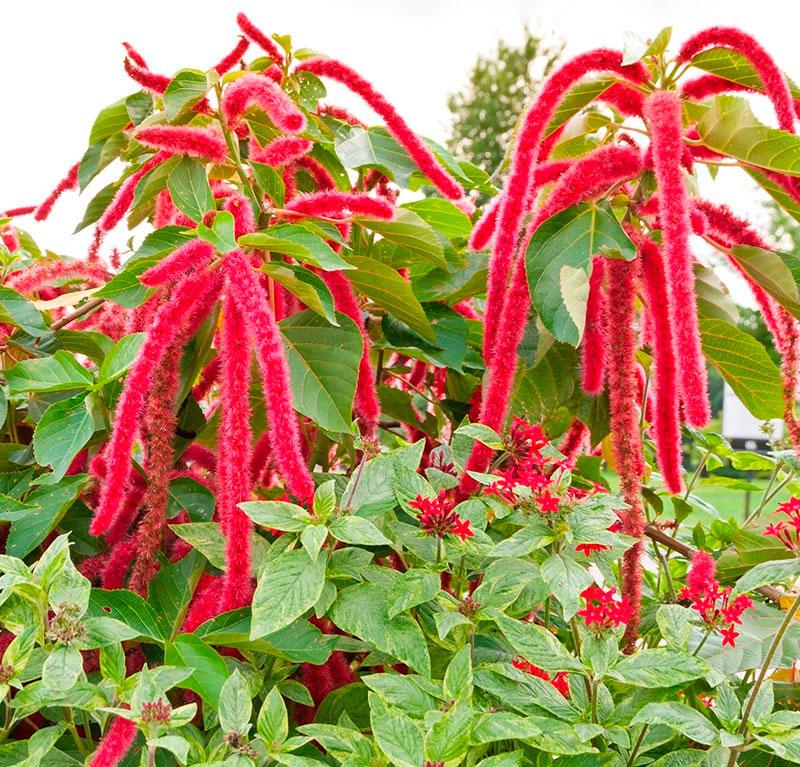 Растение красный амарант