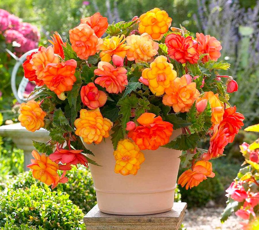 Бегония металлическая — Цветы365