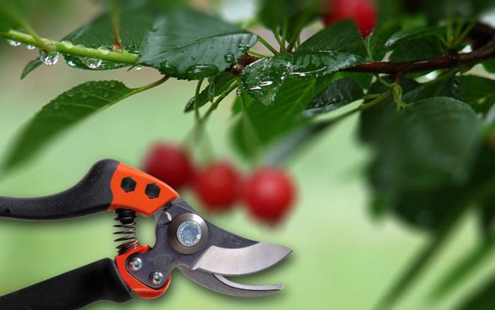 Особенности обрезки вишни