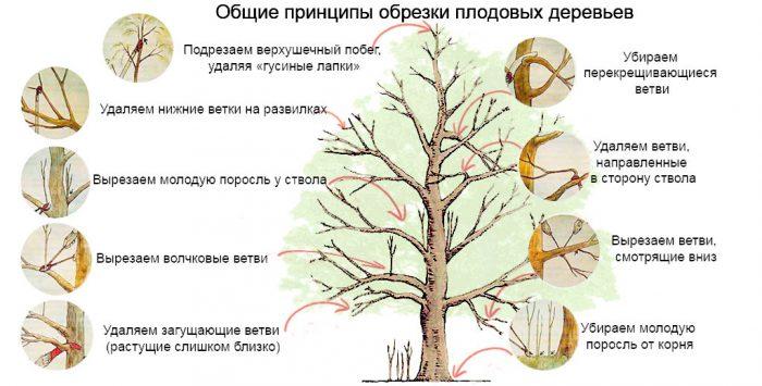 Обрезка прочих садовых деревьев