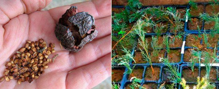 Размножение можжевельника семенами
