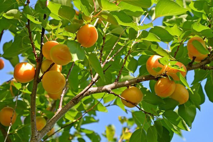 Особенности обрезки абрикоса