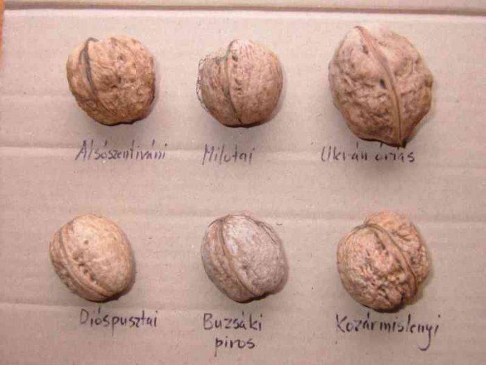 Сорта грецкого ореха