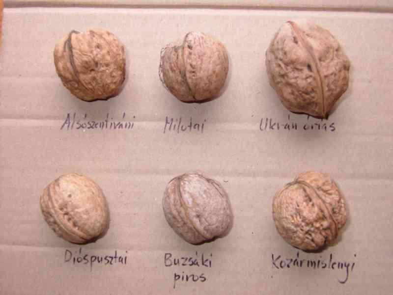 разновидность грецкого ореха