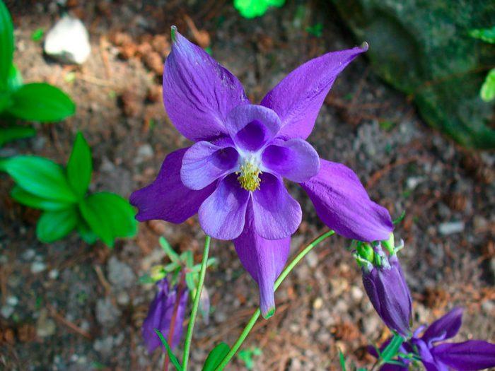 Аквилегия альпийская (Aquilegia alpina)