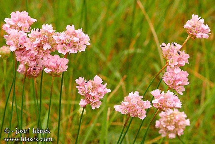 Армерия обыкновенная, садовая (Armeria vulgaris)