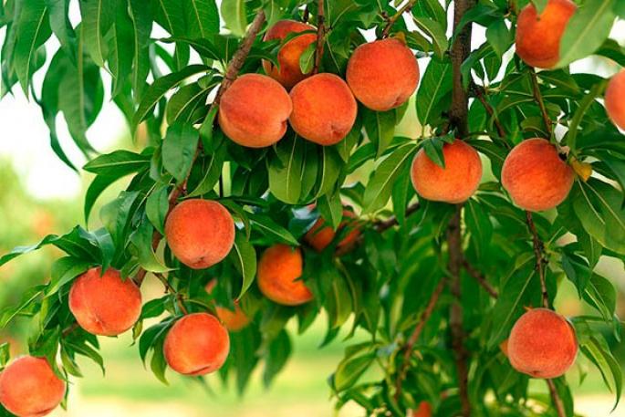 Особенности обрезки персика