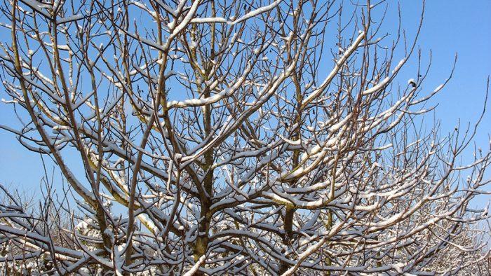 Зимовка грецкого ореха