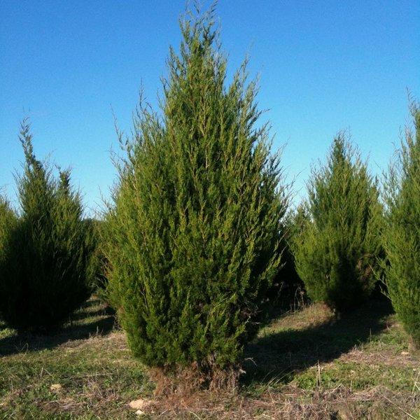 Можжевельник виргинский (Juniperus virginiana), либо «карандашное дерево»