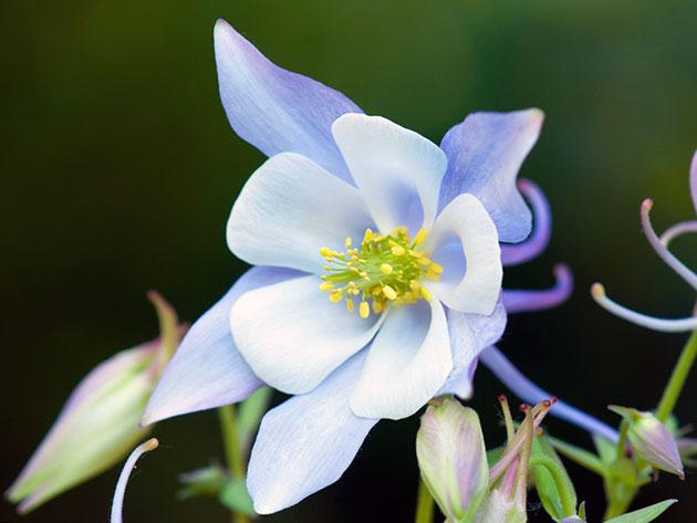 Аквилегия гибридная (Aquilegia hybrida)