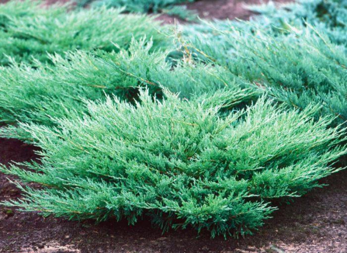 Можжевельник горизонтальный, либо распростертый (Juniperus horizontalis)