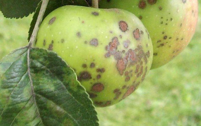 Болезни колоновидных яблонь