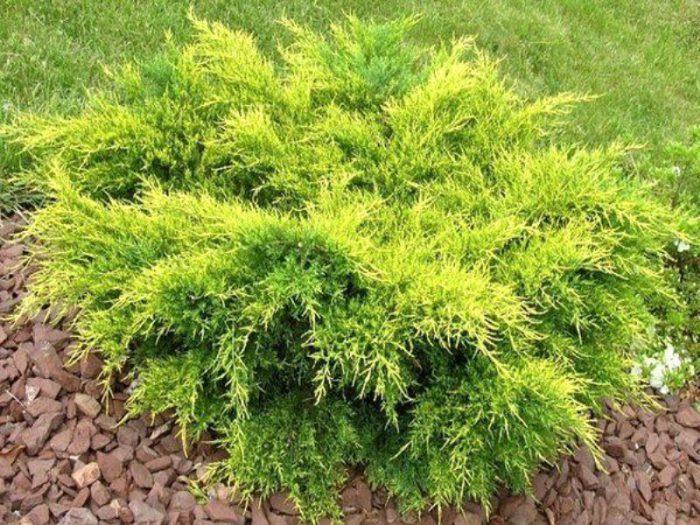Можжевельник средний (Juniperus x media)