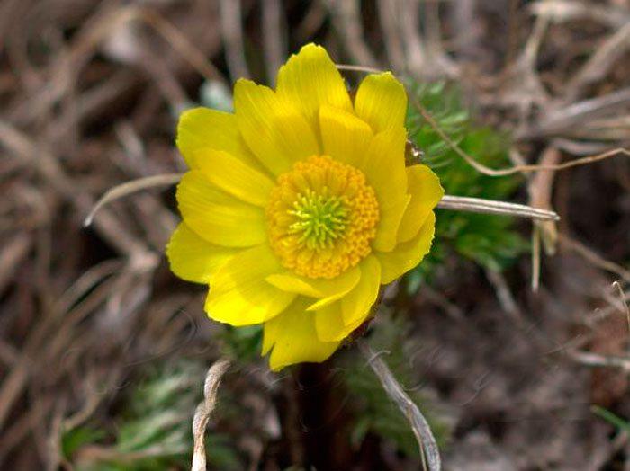 Адонис золотистый (Adonis chrysocyathus)