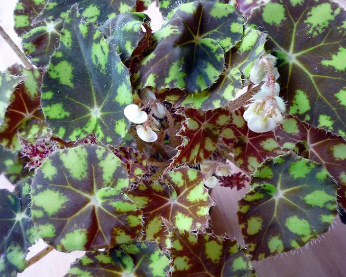 Бегония тигровая (Begonia bowerae), или бегония Бауэра, или кленолистная бегония