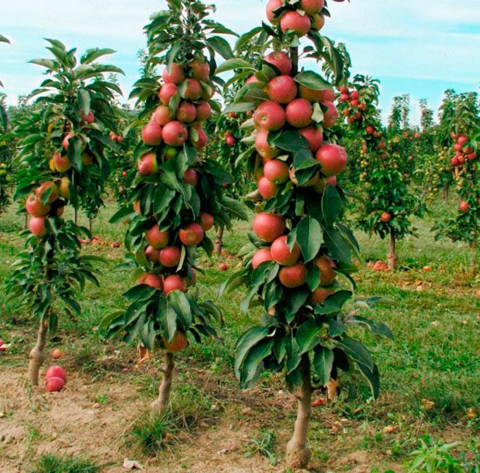 Особенности колоновидной яблони