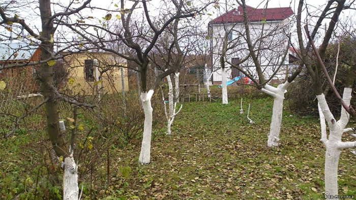 Обрезка плодовых деревьев осенью