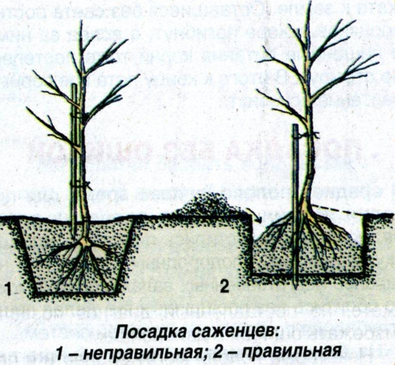 как правильно сажать колоновидные яблони