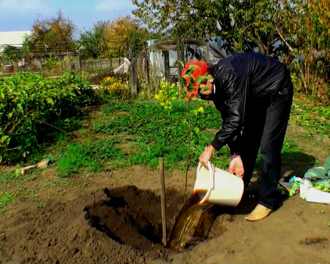 Посадка колоновидной яблони осенью