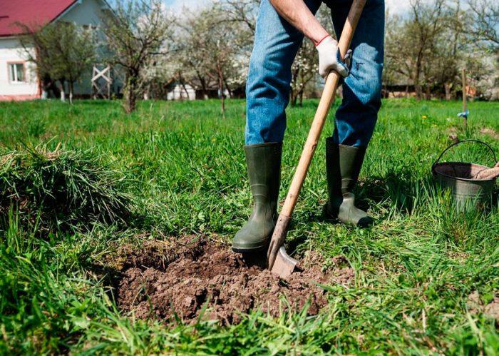 Как посадить колоновидную яблоню весной