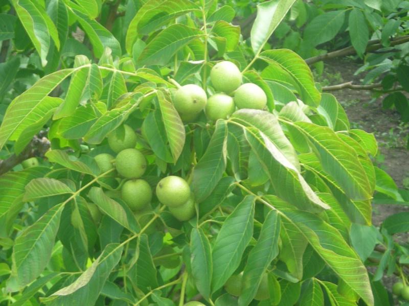 как ухаживать за деревом орех