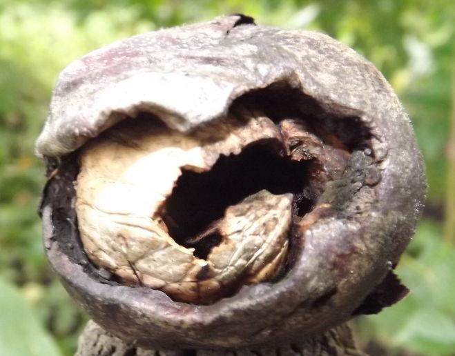 Ореховая (яблонная) плодожорка