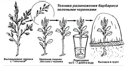 Размножение барбариса черенками