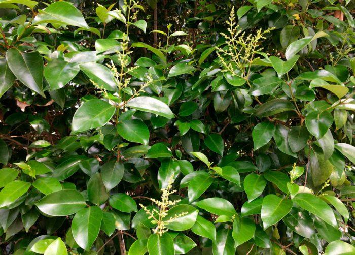 Бирючина блестящая (Ligustrum lucidum)