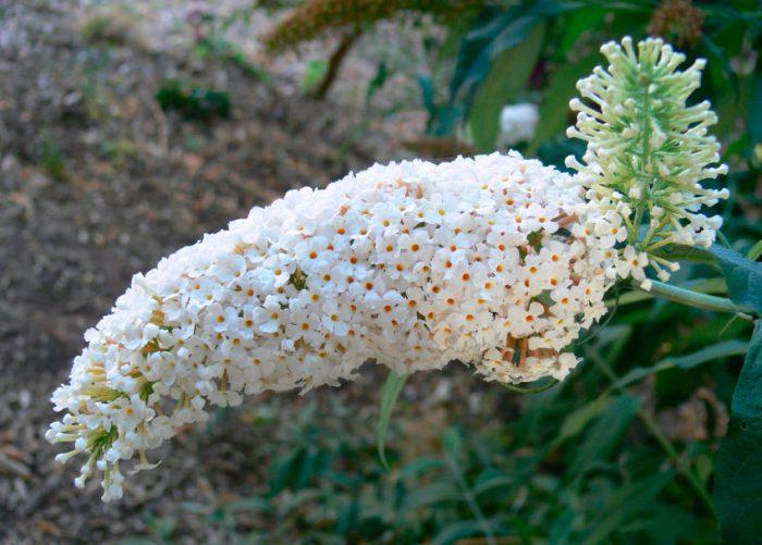 Будлея белоцветковая (Buddleja albiflora)