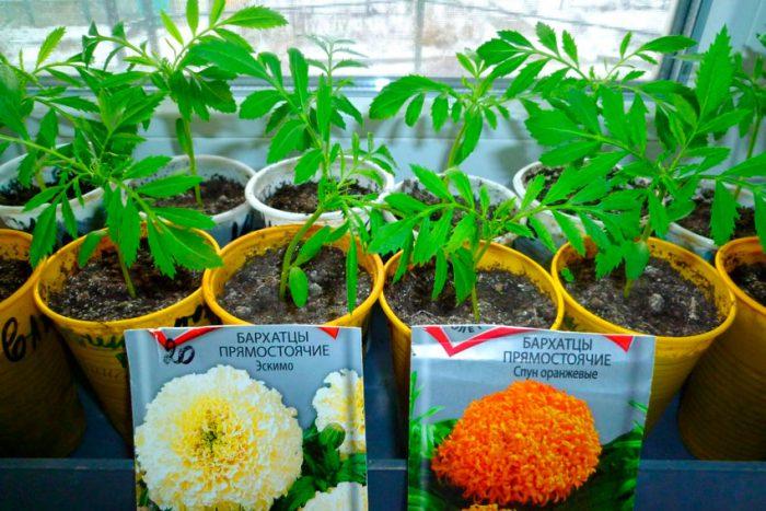 Выращивание через рассаду
