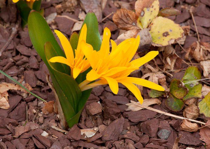 Безвременник желтый (Colchicum luteum)
