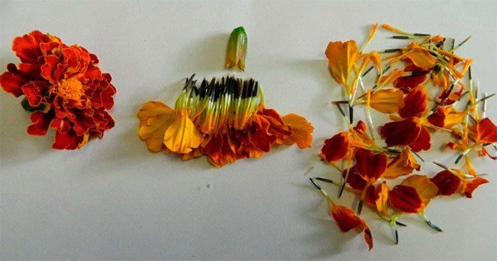 Бархатцы после цветения