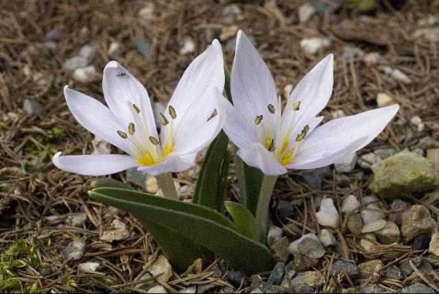 Безвременник венгерский (Colchicum hungaricum)