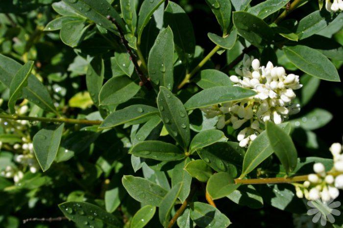 Бирючина Ибота (Ligustrum ibota)