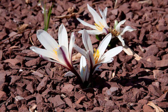 Безвременник Регеля, или Кессельринга (Colchicum regelii, Colchicum crociflorum, Colchicum kesselringii)