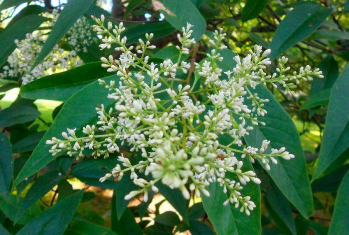 Бирючина плотная (Ligustrum compactum)