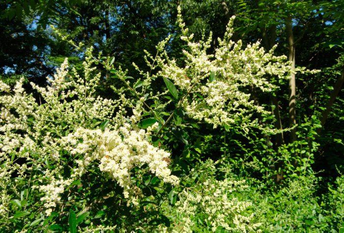 Бирючина Квихоу (Ligustrum quihoui)